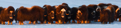 Photo of muskoxen. Florian Schulz / visionsofthewild.com.