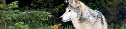 Wolves: Support Earthjustice