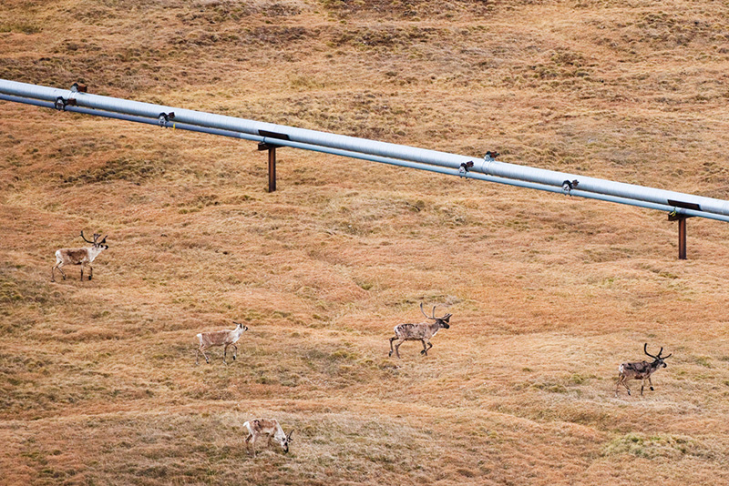 This pipeline crisscrosses a caribou migration route east of Prudhoe Bay.