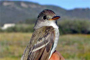 The Southwestern willow flycatcher would be threatened with extinction if groundwater pumping were allowed to continue. (USGS)