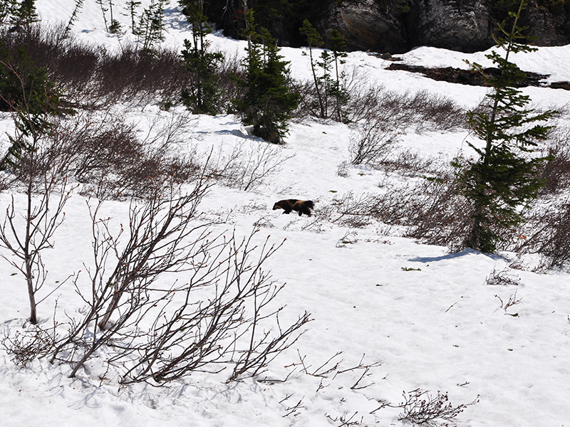 Wolverine on the prowl in Glacier National Park. About 30 pounds heavy and three feet long, wolverines have been known to travel more than 20 miles in a day.