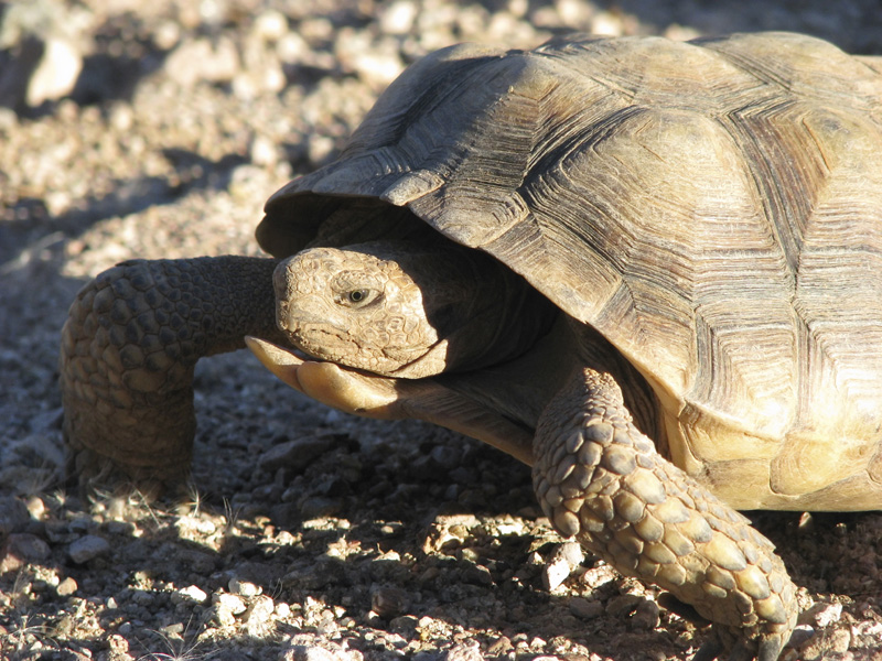 The Sonoran desert tortoise is among the animals threatened by riders attached to the Interior Appropriations Bills.