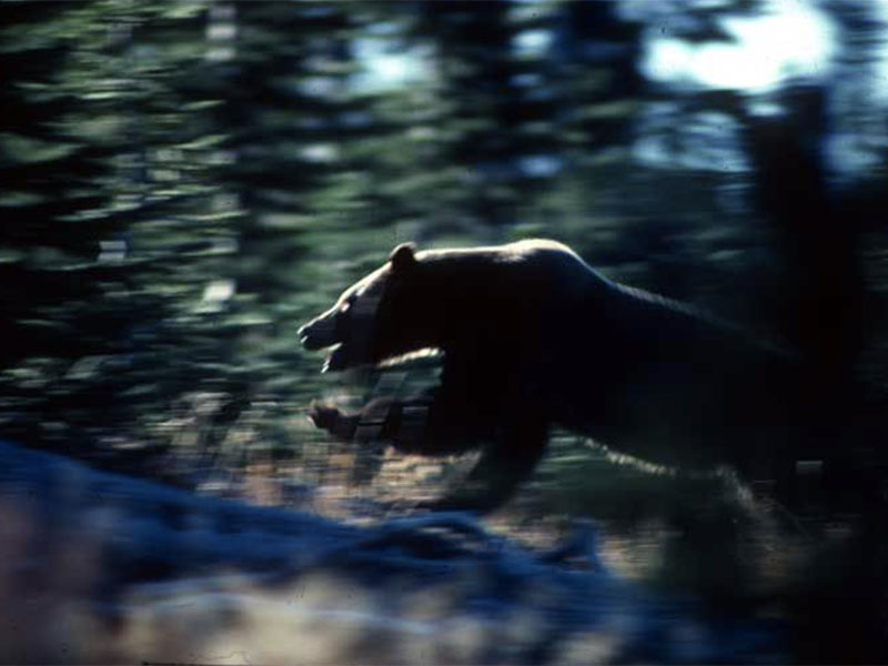 Peacock was one of the first photographers to create such spectacular footage of grizzly bears in the wild.