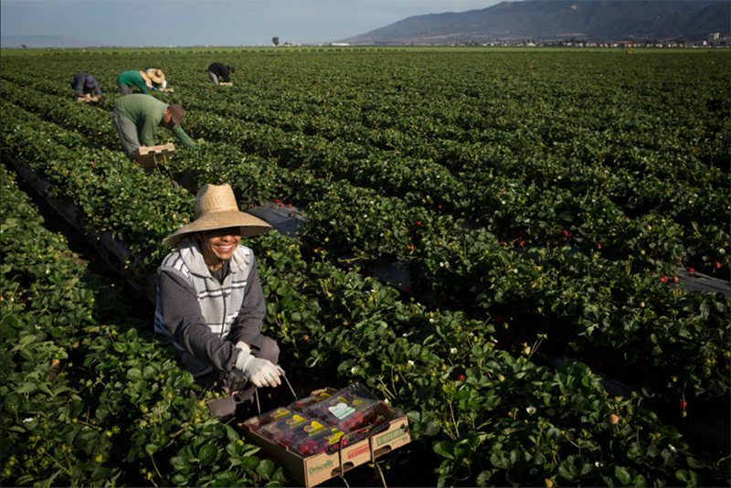 Farmworkers harvest strawberries in Salinas, CA.