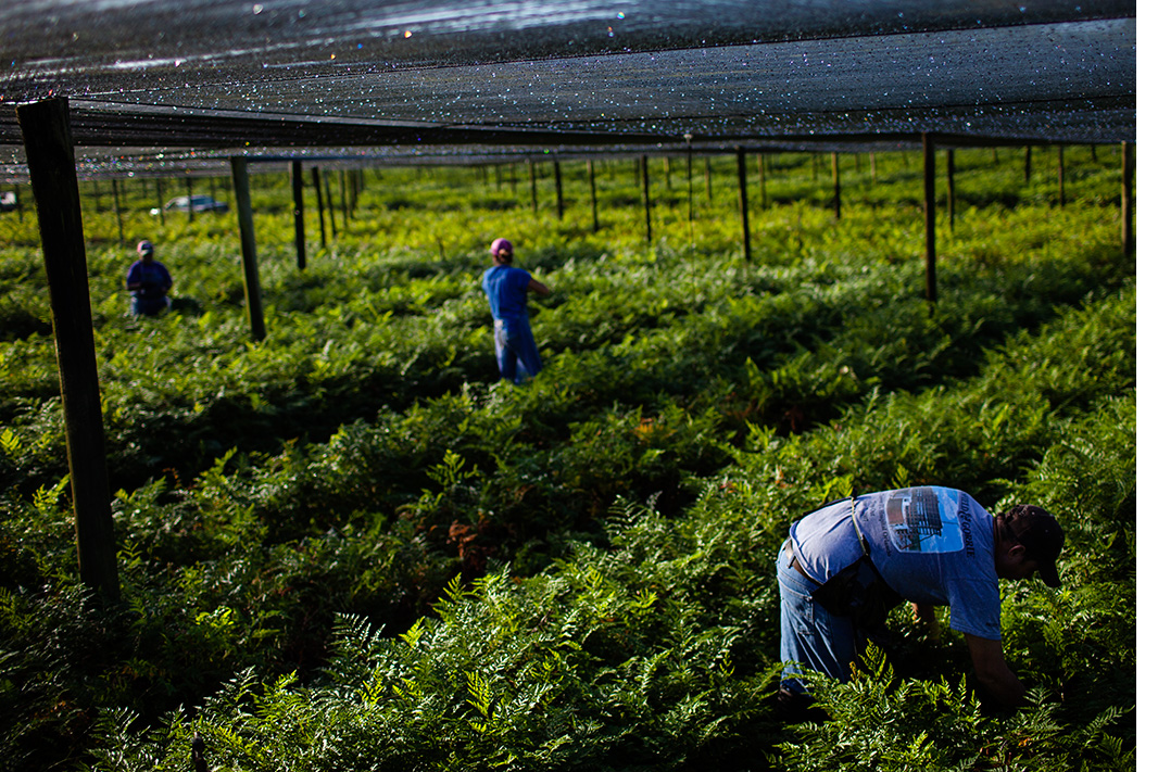 In Pierson, Florida, workers pick 'sprays' of ferns,  which are exported worldwide for use in floral arrangements and other decorations. (Dave Getzschman for Earthjustice)