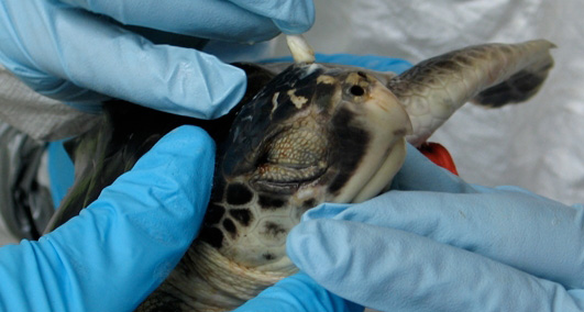 Sea turtle experts use soft cotton swabs to wipe oil from the head and eyes of an oiled sea turtle. (UC Davis)