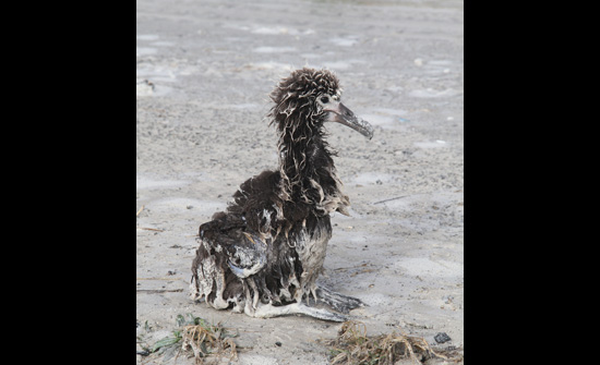 Our intrepid survivor. Laysan albatross chick, washed over by tsunami wave. (Pete Leary / U.S. Fish and Wildlife Service)