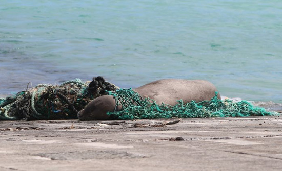 'This seal found its way into a washed up net on the boat ramp. Luckily, it wasn't stuck too bad yet and we could quickly pull the net back over its head. It went right back to sleep after we removed the net.' (Pete Leary / U.S. Fish and Wildlife Service)