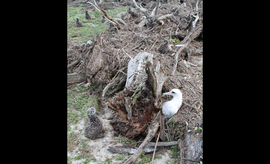 This Laysan albatross chick was only inches away from being covered by debris. The adult wasn't so lucky, and was one of the hundreds of birds dug out. (Pete Leary / U.S. Fish and Wildlife Service)