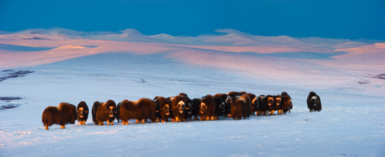 Photo of musk oxen. Credit: Florian Schulz / visionsofthewild.com.