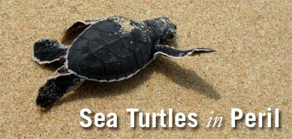 Sea Turtles in Peril