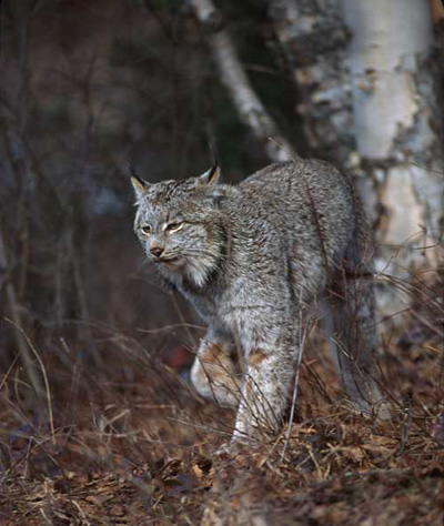 The lynx is a snow-dependent carnivore; it has a sizeable advantage in the snow with its huge paws. (Don Getty)