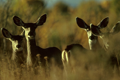 Mule deer may be one of the species who benefit from a warmer climate. (FWS)