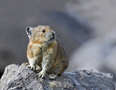Pika, a low rock rabbit, may not be so lucky. Scientists originally had a lack of historical population data on the animal. (naturepicsonline)