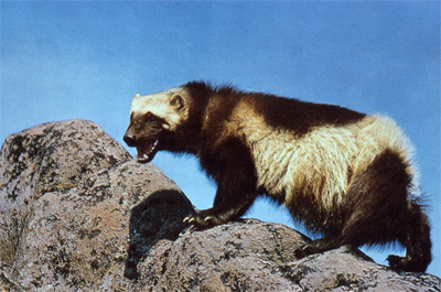 Wolverines are dependent on snow pack for denning, although they have many other adaptations to cold weather and snow that give them an advantage over other smaller carnivores. (Gerald and Buff Corsi / California Academy of Sciences)