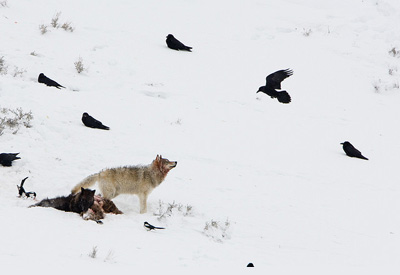 Wolves in Yellowstone National Park. (Will Sebastian)