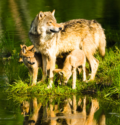 Wolves in Yellowstone National Park. (iStock)