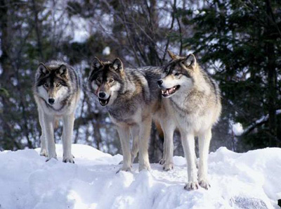Gray wolves. (NPS)