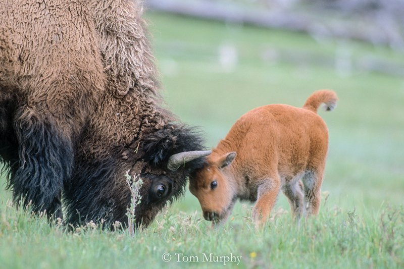 Bison Cow and Calf Playing. (Tom Murphy).
