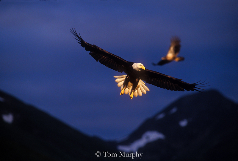Bald Eagles Flying. (Tom Murphy).