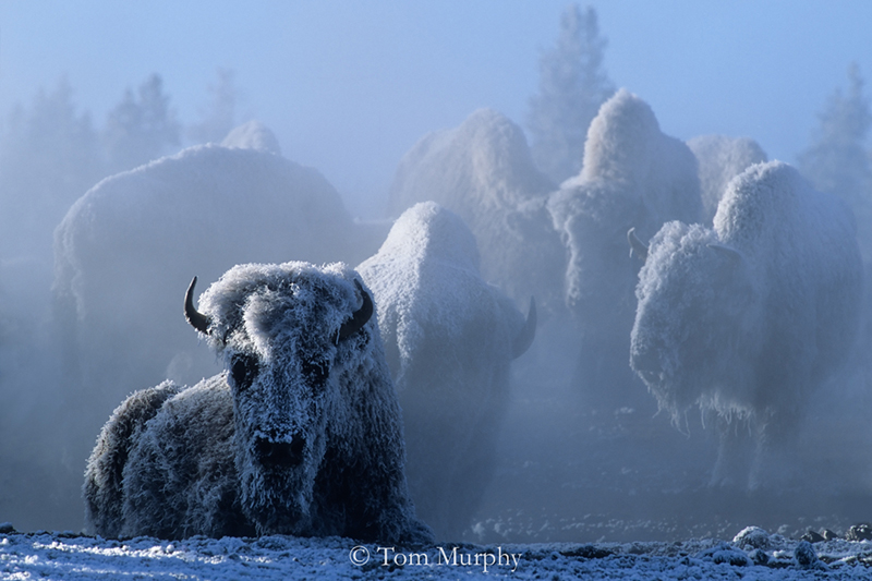 Bison at 35 Below Zero. (Tom Murphy).