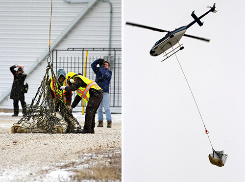Polar bear being airlifted in Churchill, Canada. (Emma J. Bishop)