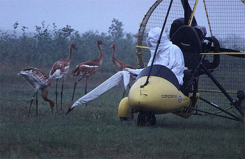 Whooping crane chicks undergo flight training with ultralight planes, with a costumed human in the pilot's seat. (U.S. Fish and Wildlife Service)