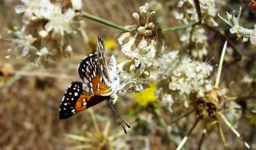 Lange's metalmark butterfly on buckwheat. (U.S. Fish and Wildlife Service)