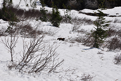 Wolverine on the prowl. (NPS)