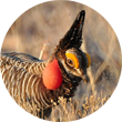 Lesser Prairie Chicken.