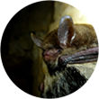 Northern long-eared bat at Mammoth Cave with white-nose syndrome.
