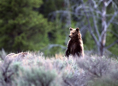 Yellowstone grizzly. (Jim Peaco / NPS)