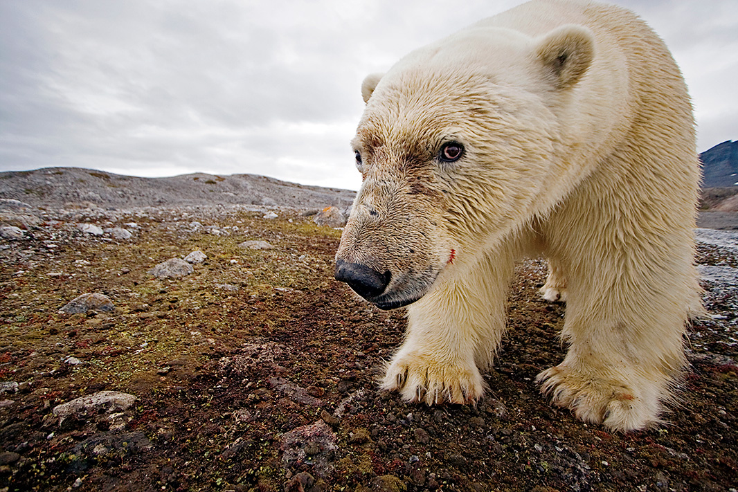 A male polar bear has its portrait taken by a camera trap.