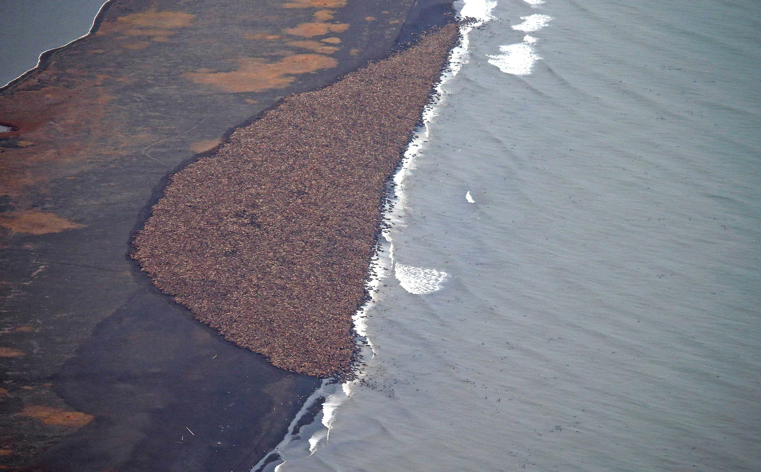 Unable to find sea ice, approximately 35,000 walruses