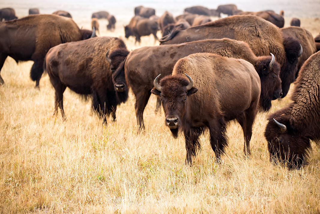The Blackfeet Tribe's Bison Reserve in Browning, Montana.