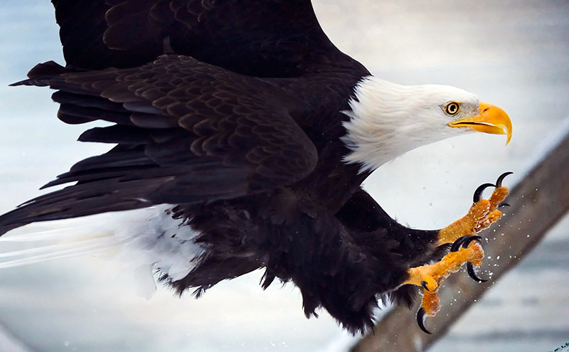 A disabled, rescued bald eagle reaches, talons outstretched, for a perch at the Yukla 27 Memorial Park on Joint Base Elmendorf-Richardson, Alaska.