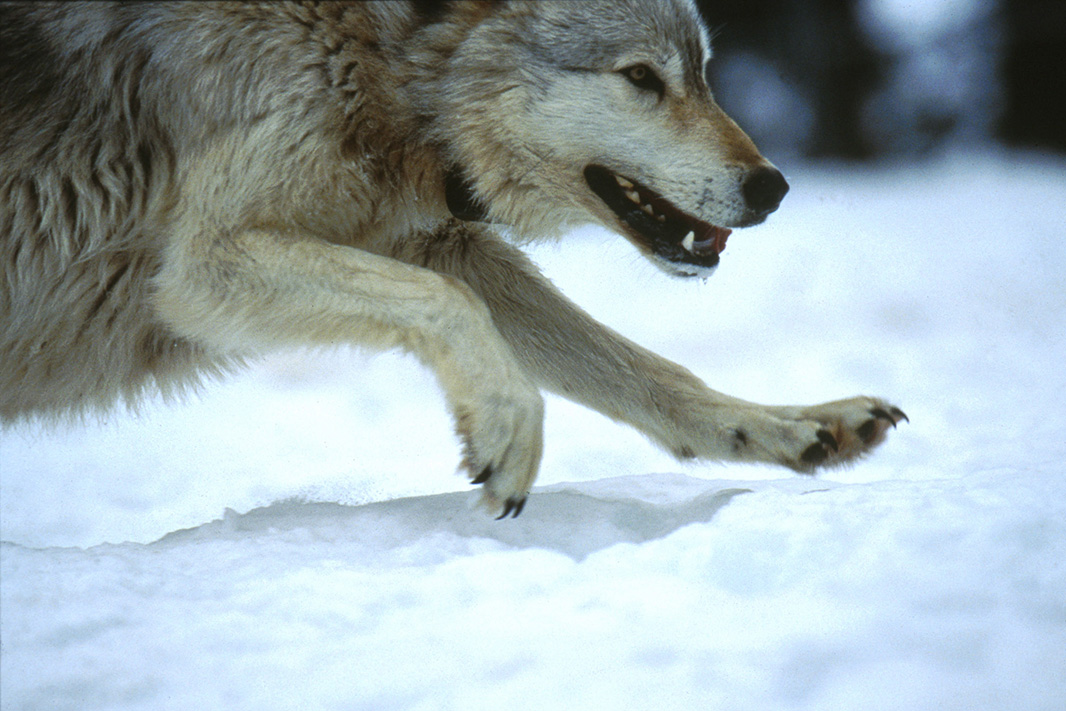 Wolf #10 of the Rose Creek pack in Rose Creek pen, Yellowstone, in 1995.