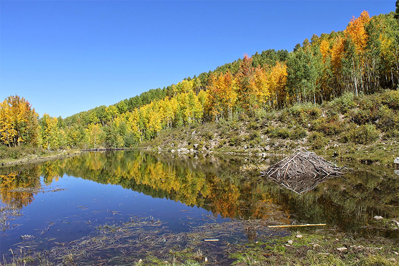 Fall colors frame a beaver pond and lodge in the Sunset Roadless Area, September 2014.