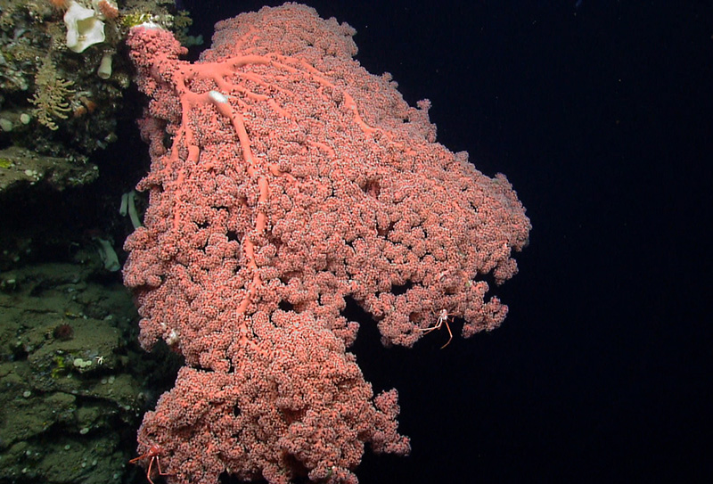 Deepwater corals on the western wall of Oceanographer Canyon.