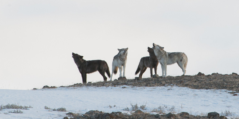 Lamar Canyon wolves in Yellowstone. (Photo (c) Tom Murphy)