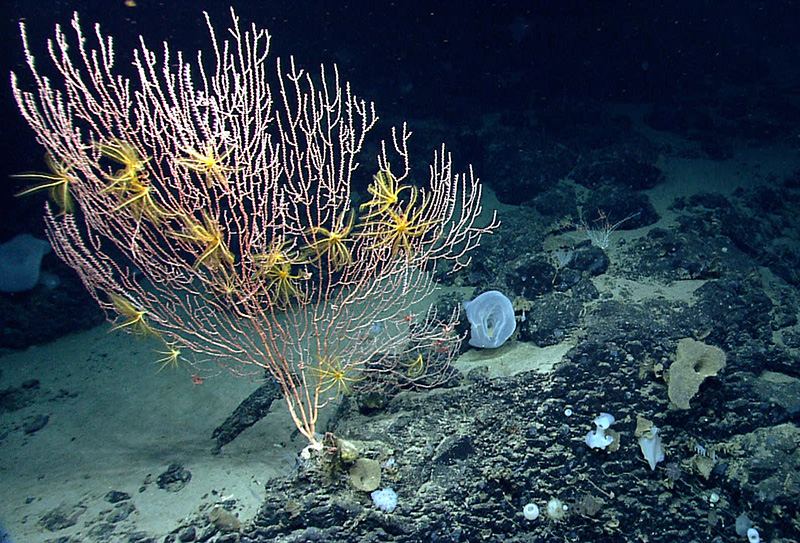 On Mytilus Seamount, a bamboo coral is attached to the black basalt rock formed by a now-extinct undersea volcano. The yellow animals on the coral are crinoids, or sea lilies, in the same major group of animals as sea stars.  The summit of Mytilus Seamount is 8,800 ft below the surface of the ocean.