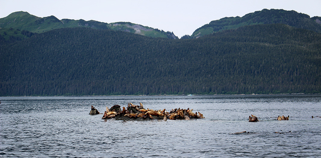 Steller sea lions in Tracy Arm Fjord.
