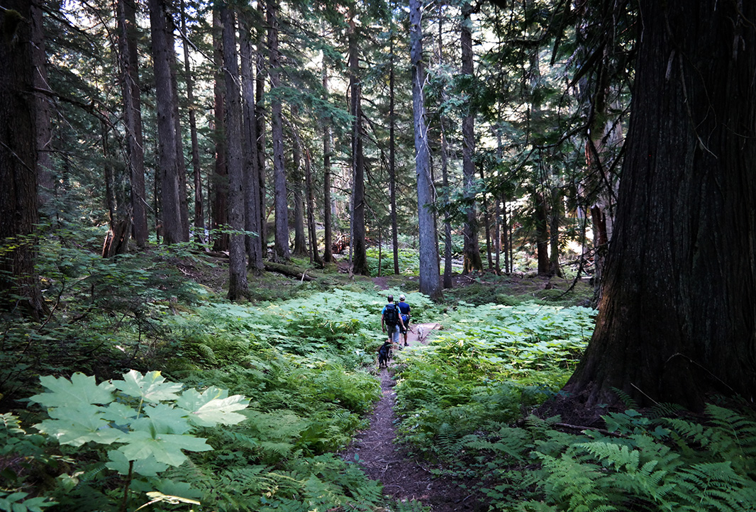 Hikers explore lush cedar forests in the East Fork Bull River drainage of the Cabinet Mountains Wilderness in July, 2016.