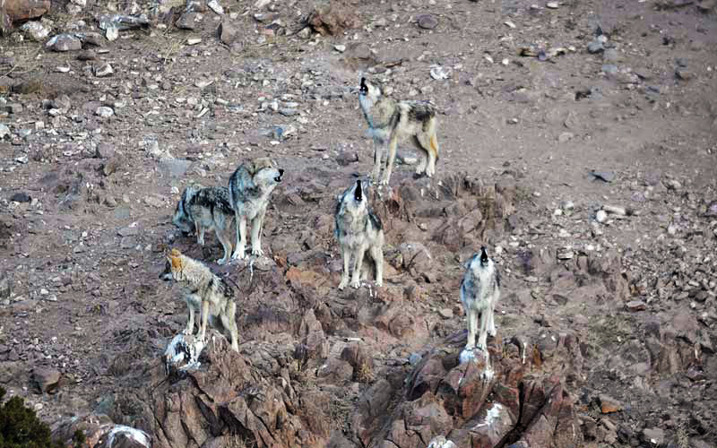 Mexican wolf pack howling at Sevilleta Wolf Management Facility.