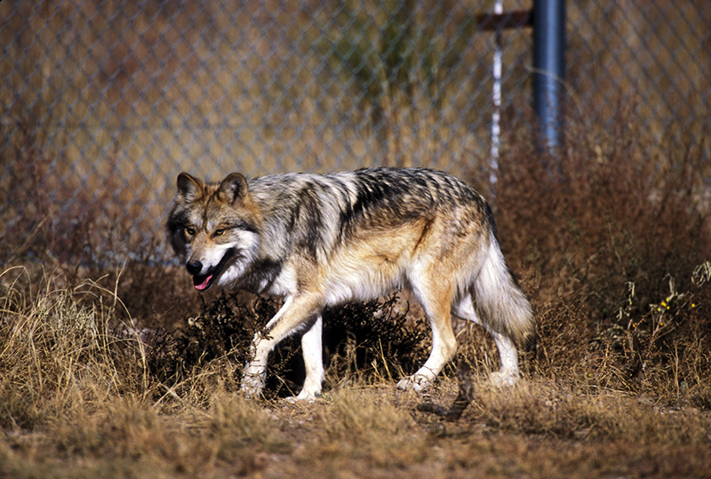 Mexican wolf on the Sevilleta National Wildlife Refuge.