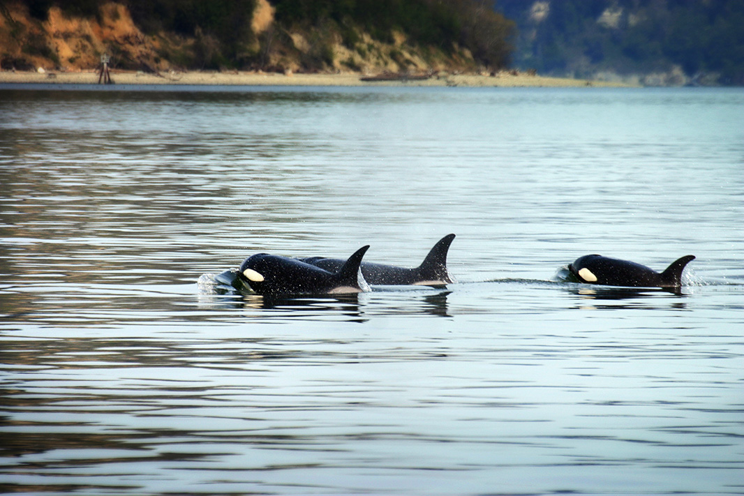 Orcas, in Puget Sound.
