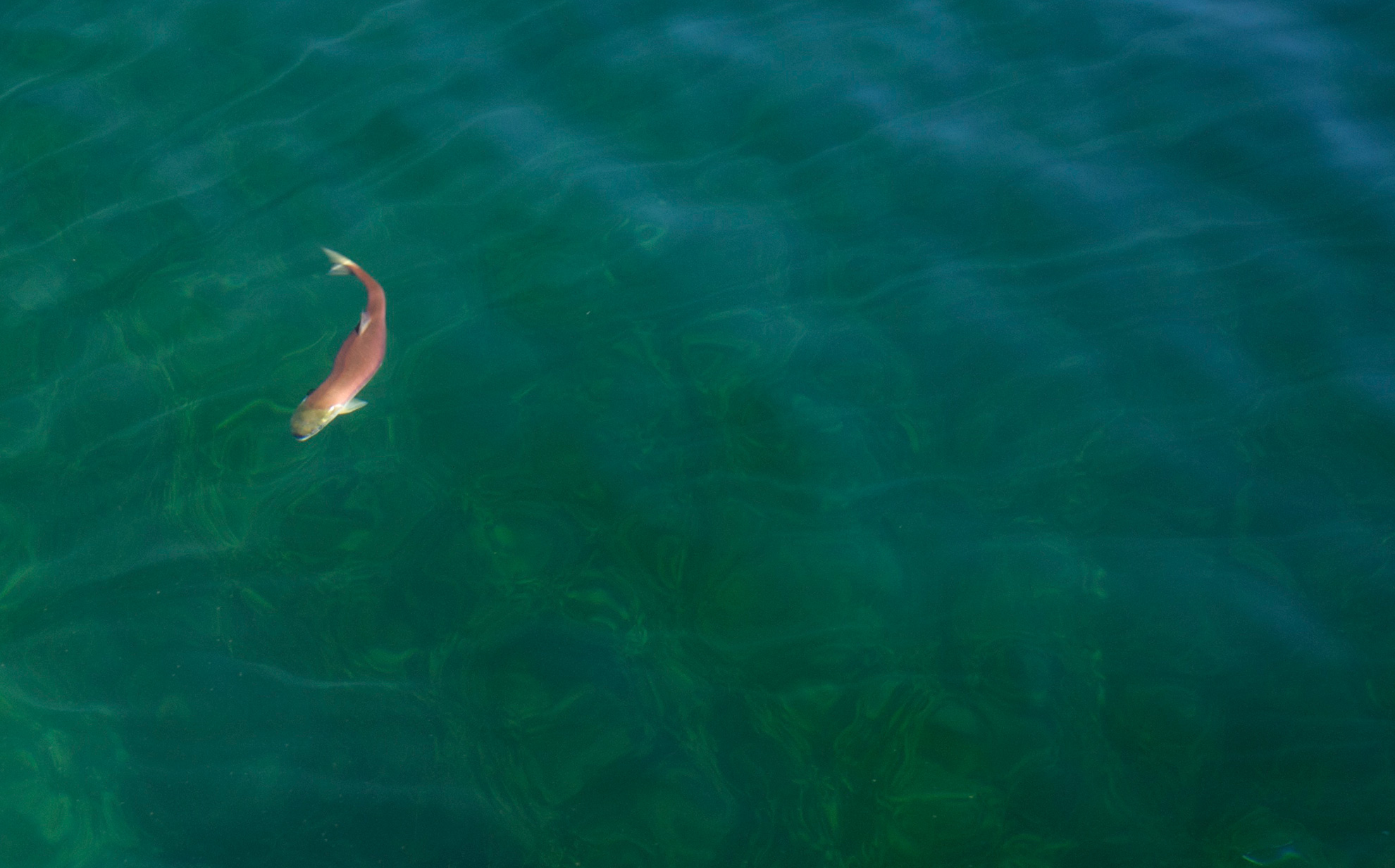 A sockeye salmon (Oncorhynchus nerka) in Redfish Lake, Sawtooth National Recreation Area, Idaho. (Neil Ever Osborne / Save Our Wild Salmon / iLCP)