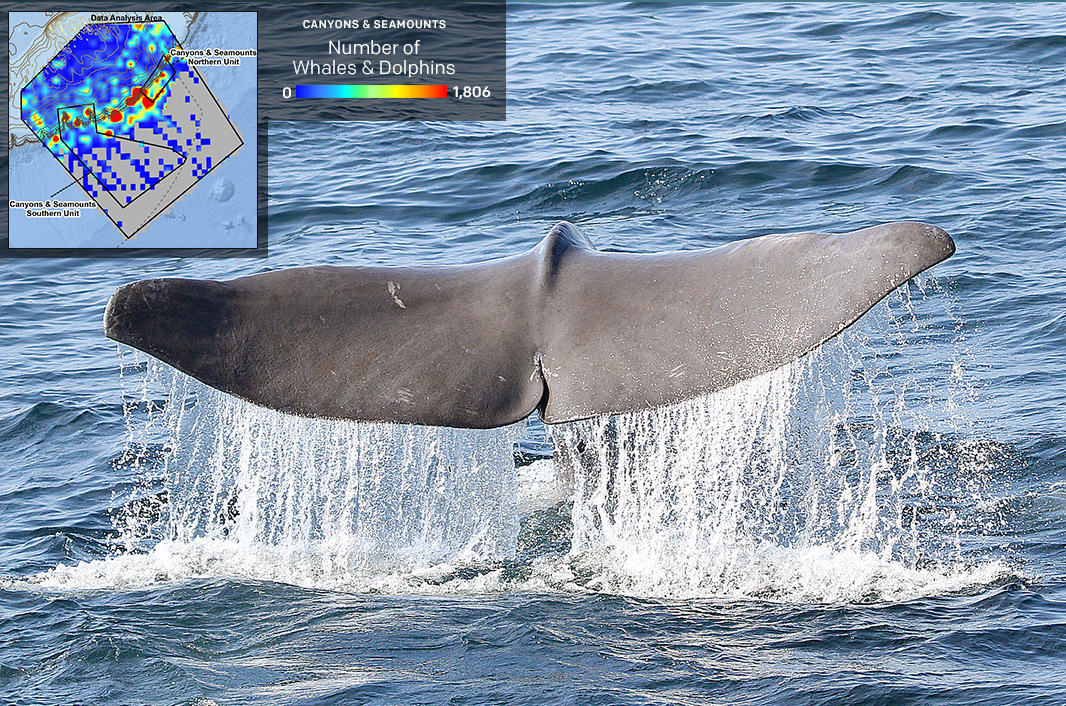 A sperm whale. The inset map illustrates total numbers of whales and dolphins found in the Coral Canyons and Seamounts, from 1963 to 2014. Hot spots for concentrations of whales and dolphins dot the shelf-edge.