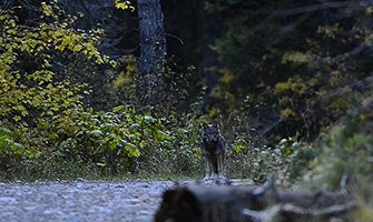 The incredible comeback of gray wolf is one of our country's greatest wildlife success stories.
