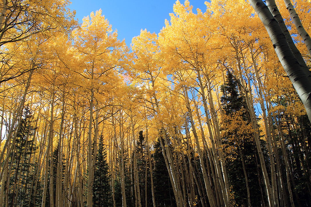 Sunset Roadless Area. Aspen and spruce.